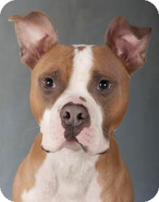 American Pit Bull Terrier/Boxer Mix Dog for adoption in Chicago, Illinois - Paxton