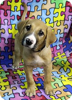 Retriever (Unknown Type)/Shepherd (Unknown Type) Mix Puppy for adoption in Westminster, Colorado - Abruzzo