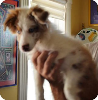 Australian Shepherd Puppy for adoption in Overland Park, Kansas - Scruffy