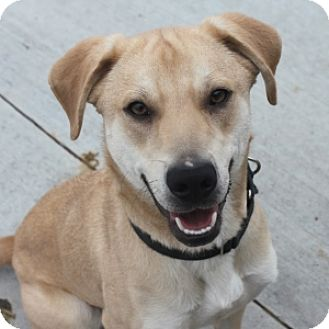 Labrador Retriever Mix Dog for adoption in Naperville, Illinois - Trey
