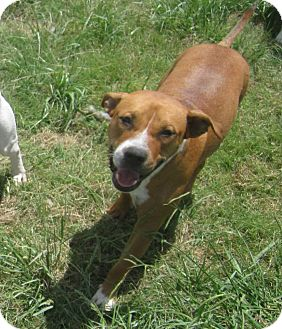 American Pit Bull Terrier Dog for adoption in Copperas Cove, Texas - Maya