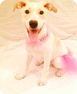 Spaniel (Unknown Type)/Labrador Retriever Mix Puppy for adoption in Hagerstown, Maryland - Tango