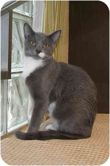 Domestic Shorthair Cat for adoption in Sheboygan, Wisconsin - Tootsie