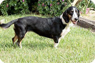 Basset Hound Mix Dog for adoption in Norwalk, Connecticut - Gretchen
