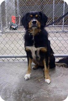 Bernese Mountain Dog/Australian Shepherd Mix Dog for adoption in Cadiz, Ohio - HAMBONE