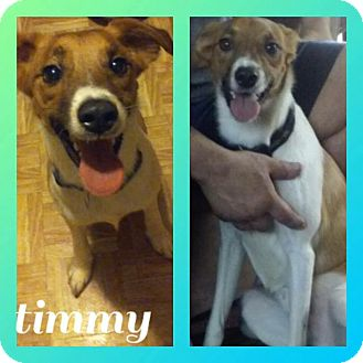 Jack Russell Terrier Mix Dog for adoption in Sterling Heights, Michigan - Timmy