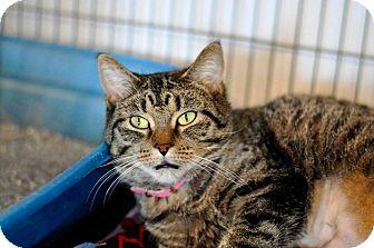 Domestic Shorthair Cat for adoption in Hanna City, Illinois - Apple