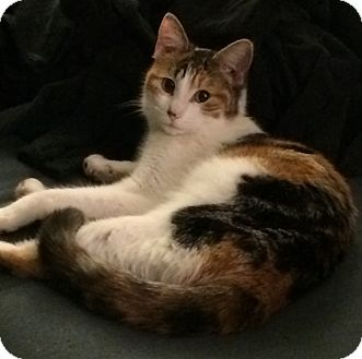 Calico Cat for adoption in St. Louis, Missouri - Mickie D.