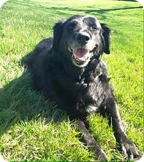 Golden Retriever/Husky Mix Dog for adoption in Bridgewater, New Jersey - Margo