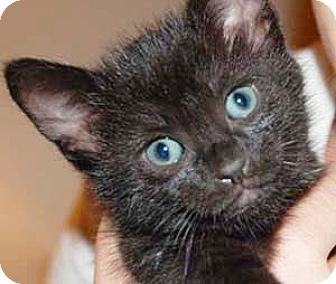 Domestic Shorthair Kitten for adoption in Garland, Texas - Condie