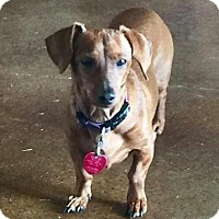 Dachshund Mix Dog for adoption in Centerville, Georgia - Ginger