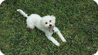 Poodle (Miniature) Mix Dog for adoption in Vancouver, British Columbia - Sebastian