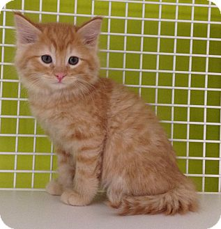 Domestic Mediumhair Kitten for adoption in Meridian, Idaho - Rudolph