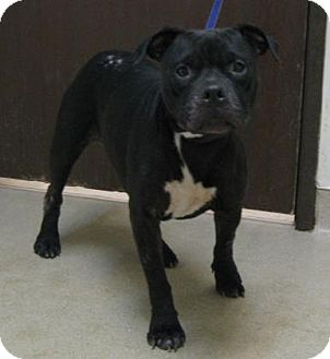 Terrier (Unknown Type, Medium) Mix Dog for adoption in Gary, Indiana - Douglas