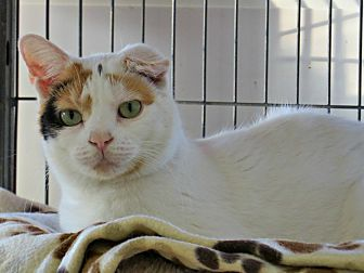 Domestic Shorthair Cat for adoption in tama, Iowa - Mystery