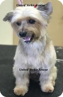 Yorkie, Yorkshire Terrier Dog for adoption in Lighthouse Point, Florida - Mia