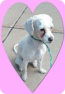 Bichon Frise Dog for adoption in Tulsa, Oklahoma - Trixie - IL