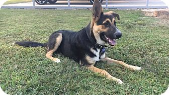 German Shepherd Dog Mix Dog for adoption in Union City, Tennessee - Grisham