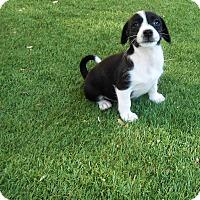 Adopt A Pet :: Oreo Cream Pie - Chandler, AZ