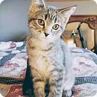 Domestic Shorthair Kitten for adoption in Princeton, Minnesota - Willow