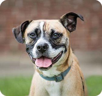 Pug/Beagle Mix Dog for adoption in Garner, North Carolina - Blitz