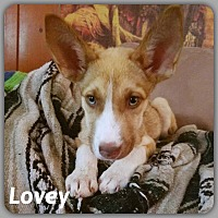 German Shepherd Dog/Husky Mix Puppy for adoption in DeForest, Wisconsin - Love Bug