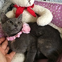 Russian Blue Kitten for adoption in Metairie, Louisiana - Amanda
