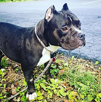 French Bulldog/Pit Bull Terrier Mix Dog for adoption in Chambersburg, Pennsylvania - Squish