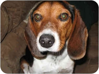 Beagle Dog for adoption in Indianapolis, Indiana - Blitzen-ADOPTED