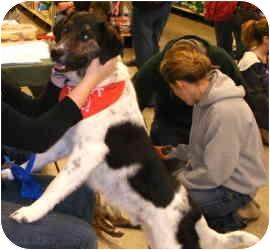Plott Hound/Springer Spaniel Mix Dog for adoption in Ferryville, Wisconsin - Luca