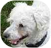 Toy Poodle/Terrier (Unknown Type, Small) Mix Dog for adoption in Hamilton, Ontario - Pierre