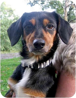 Dachshund/Jack Russell Terrier Mix Dog for adoption in Jacksonville, Florida - Ziggy