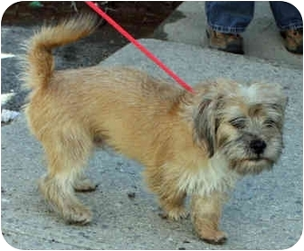 Border Terrier Mix Dog for adoption in Mount Kisco, New York - Wally