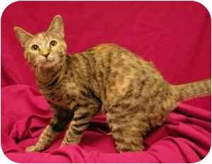 Domestic Shorthair Cat for adoption in Sacramento, California - Lil Missy