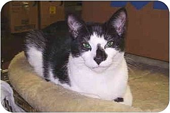 Domestic Shorthair Cat for adoption in Dale City, Virginia - Ruffles