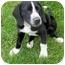 Photo 2 - Hound (Unknown Type)/Labrador Retriever Mix Puppy for adoption in Plainfield, Illinois - Gibson