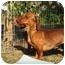 Photo 3 - Dachshund Dog for adoption in Vista, California - DUTCHESS