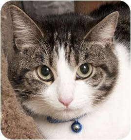 Domestic Shorthair Cat for adoption in Chicago, Illinois - Baby
