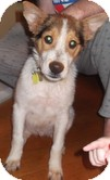 Collie Mix Puppy for adoption in Harrisonburg, Virginia - Mario