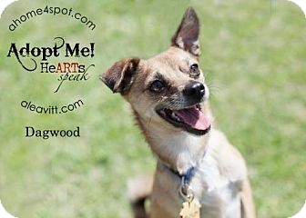Chihuahua Mix Dog for adoption in Las Vegas, Nevada - Dagwood