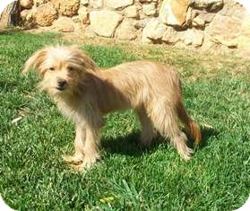 Yorkie, Yorkshire Terrier/Havanese Mix Dog for adoption in Tustin, California - Pretty Girl