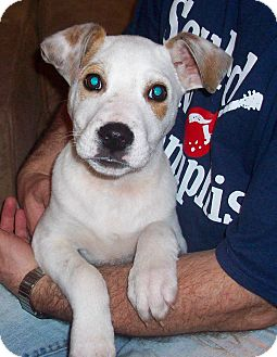 Jack Russell Terrier/Boxer Mix Puppy for adoption in CHAMPAIGN, Illinois - PETER