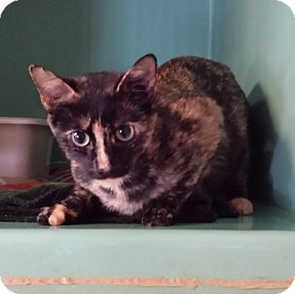 Calico Cat for adoption in Franklin, New Hampshire - Stormy