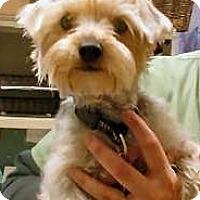 Adopt A Pet :: Lily - Skokie, IL