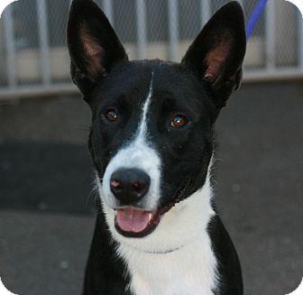 Border Collie Mix Dog for adoption in Canoga Park, California - Nicki