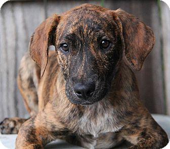 Blue Heeler/Hound (Unknown Type) Mix Puppy for adoption in Yuba City, California - Jack