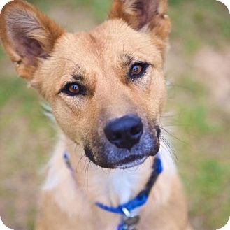 Cattle Dog/Terrier (Unknown Type, Medium) Mix Dog for adoption in Edmonton, Alberta - Lotus Flower