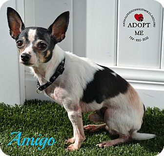 Chihuahua Mix Dog for adoption in Youngwood, Pennsylvania - Amigo