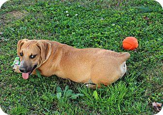Basset Hound Mix Puppy for adoption in Foster, Rhode Island - Kobe