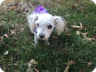 Poodle (Miniature) Mix Dog for adoption in Waldorf, Maryland - Frankie
